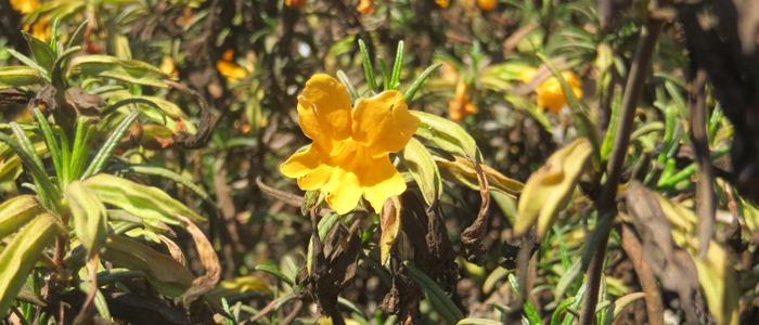 Sticky Monkey Flower blog 700x300