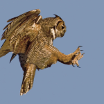 """This raptor is outfitted with special """"feeler feathers"""" on its talons."""