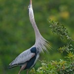 A Great Blue Heron defends its hunting grounds by fraying its chest feathers and pointing its bill to the sky.