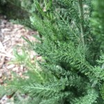 Dense leaves and woolly hairs help this species retain water.