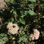 dune buckwheat in line picture