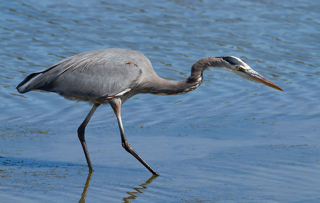 1024px-Great_Blue_Heron_(Ardea_herodias),_hunting
