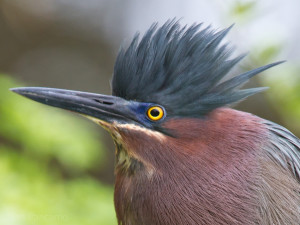 Green Herons have a dark cap often raised into a crest