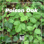 Can you identify poison oak? Learn to identify poison oak in every season with this lesson!