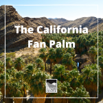 Learn about the only native palm tree in western North America and learn how to create a fun decorative personal goal palm tree!