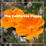 Create your own tissue paper poppy and learn about California's iconic flower with this activity.