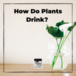 Have you ever wondered how a plant drinks its water? Plants drink water just like humans do, see how in this experiment!