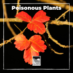 California has many different types of plants, but did you know that some of them are actually poisonous? Whether they are toxic to humans, animals or leave a rash if you touch them, there are some plants that should be avoided when hiking! Learn about a few of California's toxic plants in this identification activity.