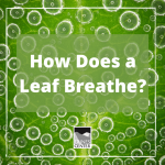 Have you ever wondered how plants breathe? In this DIY experiment you will learn how plants breathe, a process that is usually invisible!